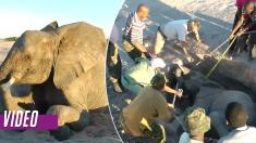 Este elefantito estaba demasiado débil para salir del pozo, ¡tardaron 4 horas para sacarlo!