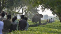 Un elefante mató a un hombre luego que la gente lanzara piedras a su bebé recién nacido