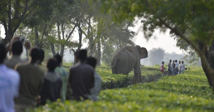 Aldeanos en la India observan como una manada de 46 elefantes asiáticos salvajes caminan por el Jardín de Té Gangaram el 29 de noviembre de 2017. Los elefantes asiáticos están catalogados como animales en peligro de extinción. A medida que la población humana aumenta, el hábitat natural de los elefantes desaparece y se ven obligados a desplazarse a zonas agrícolas donde causan daños a los cultivos. (DIPTENDU DUTTA/AFP/Getty Images)