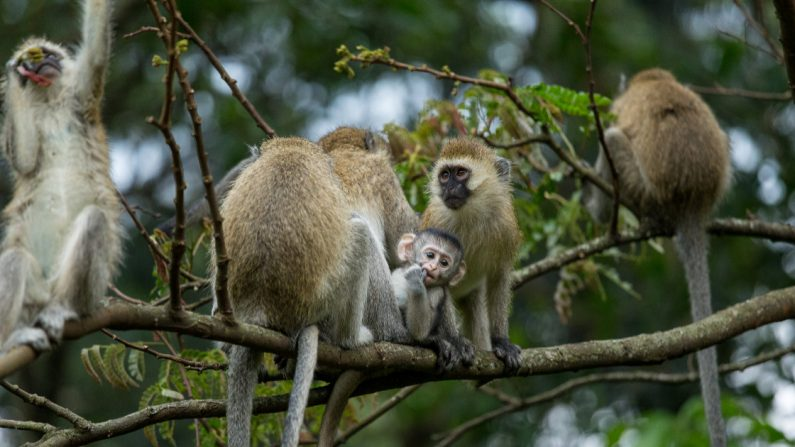 Monos vervet. (Crédito: Justin Raycraft / Flickr / Licencia: CC BY 2.0)