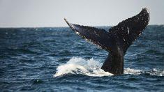 Capturan instante del salto de una ballena jorobada cerca de un barco pesquero