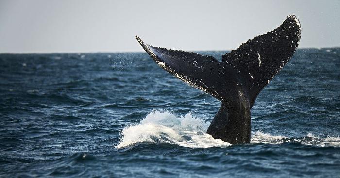 Cola de una ballena. Foto de CRIS BOURONCLE/AFP/Getty Images.