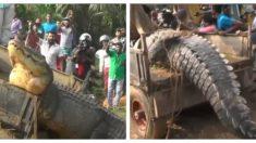 Cocodrilo gigante de más de 5 m y casi una tonelada aterroriza a su comunidad pero aún lo salvan
