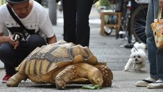 Este perro se hace amigo de una tortuga y aprende a comer lechuga con ella (video)