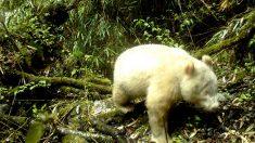 Filman en China video sin precedentes del primer panda gigante albino en estado natural