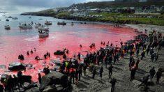 Masacre de 250 ballenas y delfines tiñen el mar de rojo en Dinamarca