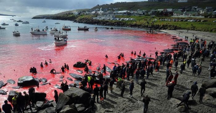 La gente participa de una cacería de calderones en Torshavn, Islas Feroe, el 29 de mayo de 2019. Foto de ser ANDRIJA ILIC/AFP/Getty Images.