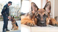 """Policía siente algo """"raro"""" cuando su perro no quiere sentarse, luego debe tomar una difícil decisión"""