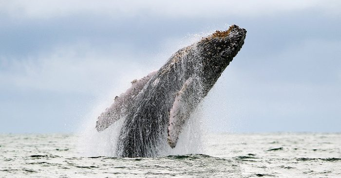 Las ballenas también están en sintonía con los campos magnéticos (LUIS ROBAYO/AFP/Getty Images)