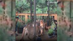 Hombre filma a un grupo de pumas pasando el rato en su terraza, ¡un momento muy inquietante!