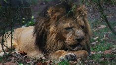 León esquelético exhibido en un zoológico de Bangladesh indigna a las redes sociales