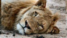 Propietario de criadero de leones sin piel por la sarna enfrenta cargos por crueldad animal