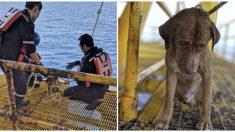 Rescatan a un cansado perrito nadando a 220 km de la costa, pero cómo llegó allí aún es un misterio