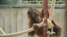 Bebé orangután maltratado y enfermo experimenta una recuperación reconfortante