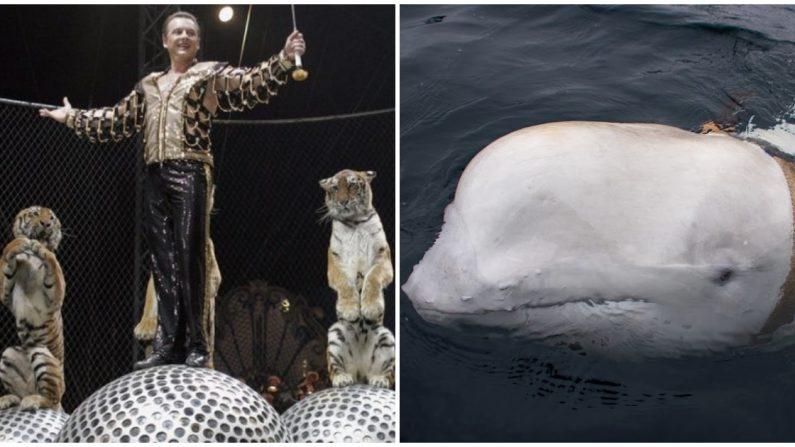 Un espectáculo de circo con tigres en Rusia en una foto de archivo. (Tatyana Makeyeva / AFP / Getty Images |   Jorgen Ree Wiig / Dirección de Pesca de Noruega. /Servicio de Vigilancia del Mar)