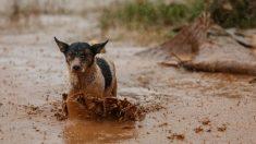 Un perro salvó a una gallina de morir ahogada en inundaciones de provincia argentina