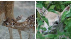 La belleza de este ciervo le valió el rechazo de su mamá al nacer ¡pero tiene miles de fans!