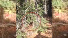 Cazadores bajan las armas y rescatan a un indefenso ciervo atrapado entre dos árboles