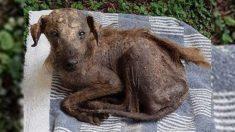 Perro abandonado que era todo piel y huesos es salvado por una mujer que lo deja irreconocible