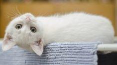 Gatito tan pequeño como un lápiz labial y sin esperanzas de sobrevivir se recupera asombrosamente