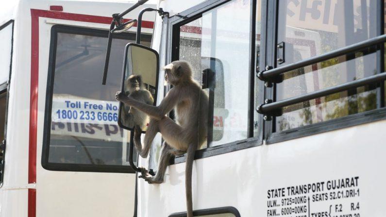 Un mono mira por el espejo lateral de un autobús listo para partir en Ahmedabad el 13 de diciembre de 2018. Imagen de archivo. (SAM PANTHAKY/AFP/Getty Images)
