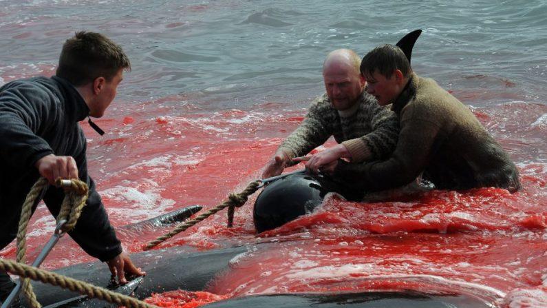 Pescadores y voluntarios intentan sacar del mar las ballenas piloto que cazaron el 29 de mayo de 2019 en Torshavn, Islas Faroe. ANDRIJA ILIC/AFP/Getty Images.