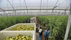 EE.UU. optimista sobre nuevo acuerdo para importar tomate de México