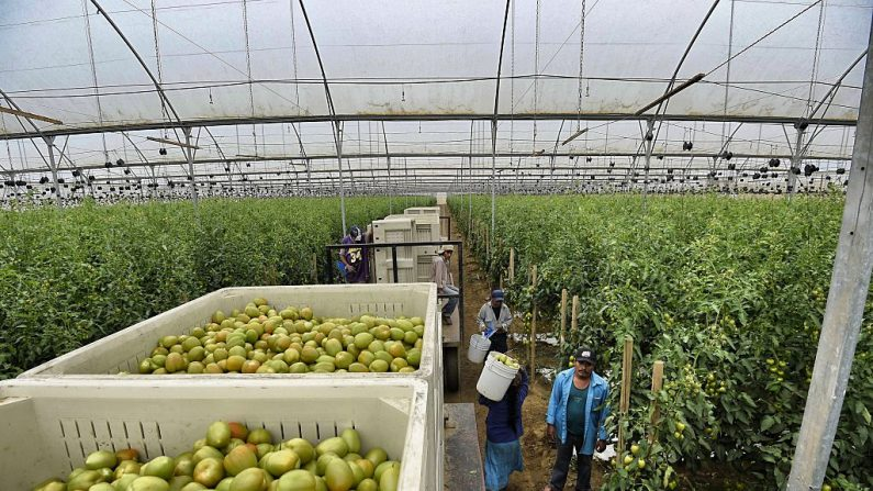 Jornaleros agrícolas trabajan en un campo de tomates en Los Pinos, Valle de San Quintín, Estado de Baja California, México. (ALFREDO ESTRELLA/AFP/Getty Images)
