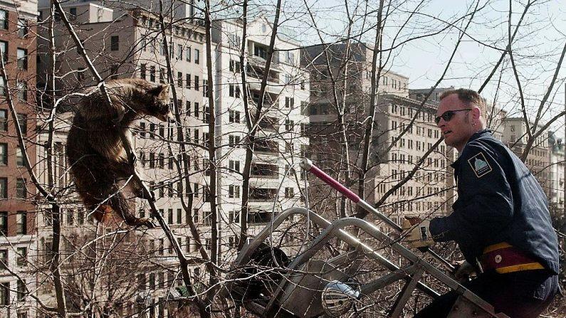 El oficial de Control de Animales Scotlund Haisley rescata un mapache varado de un árbol en McPhearson Square el 22 de febrero de 2000 en Washington, DC. (JOYCE NALTCHAYAN/AFP/Getty Images)