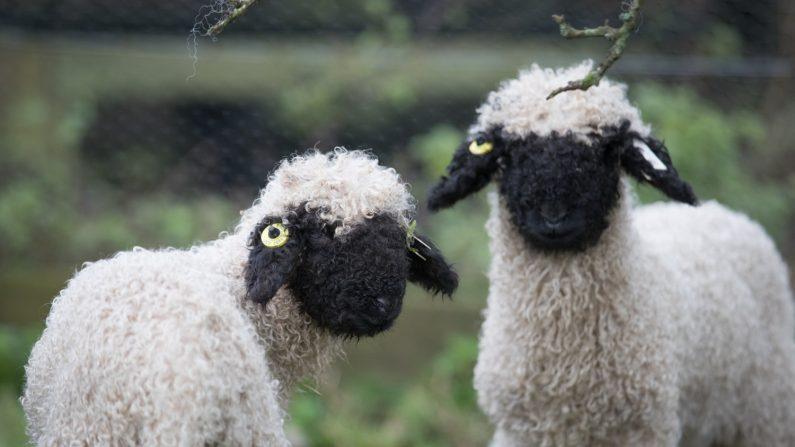 """Las ovejas de la extraña raza """"nariz negra de Valais"""" exploran su nuevo hogar en un prado en los jardines perdidos de Heligan cerca de St. Austell en Cornwall, Inglaterra, el 14 de diciembre del 2016. (Matt Cardy / Getty Images)"""