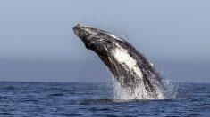 Video: surfista estuvo a punto de ser tragada por dos ballenas