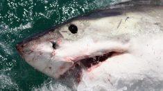 """""""Delirante"""" video de un gran tiburón blanco nadando cerca de un barco"""