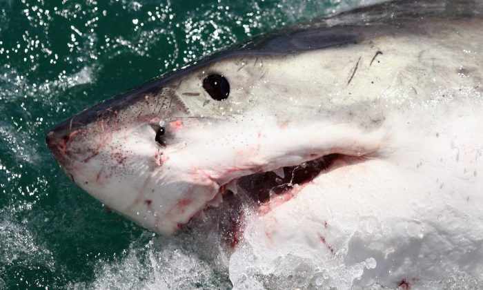 Foto de archivo de un gran tiburón blanco en Gansbaai, Sudáfrica, el 19 de octubre de 2009. (Dan Kitwood/Getty Images)