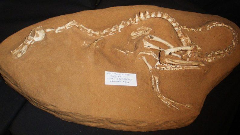 Halszkaraptor escuilliei. (Crédito: Wikipedia/Dominio público)