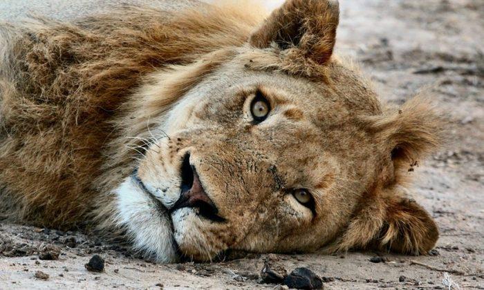 Foto de archivo de un león descansando. (Pexels/Pixabay)