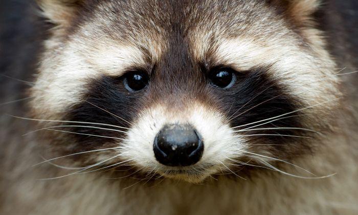Imagen ilustrativa de un mapache. (Sven Hoppe/AFP/Getty Images)