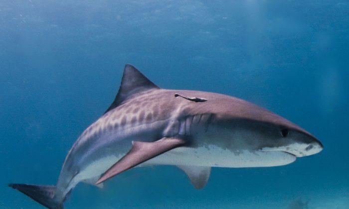 "Foto ilustrativa de un tiburón tigre. (""Tiger shark Bahamas"" by Albert kok/Wikimedia [CC BY-SA 3.0; CC BY-SA 2.5; CC BY-SA 2.0; CC BY-SA 1.0])"