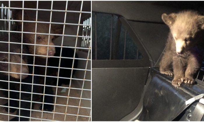 Cachorros de osos después de ser rescatados del lugar de un accidente automovilístico que mató a su madre en Arizona el 26 de abril de 2019. (Departamento de Seguridad Pública de Arizona/Departamento de Policía de Jayden)