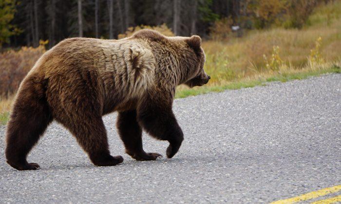 Imagen Ilustrativa de un oso. (Illustration - Shutterstock)