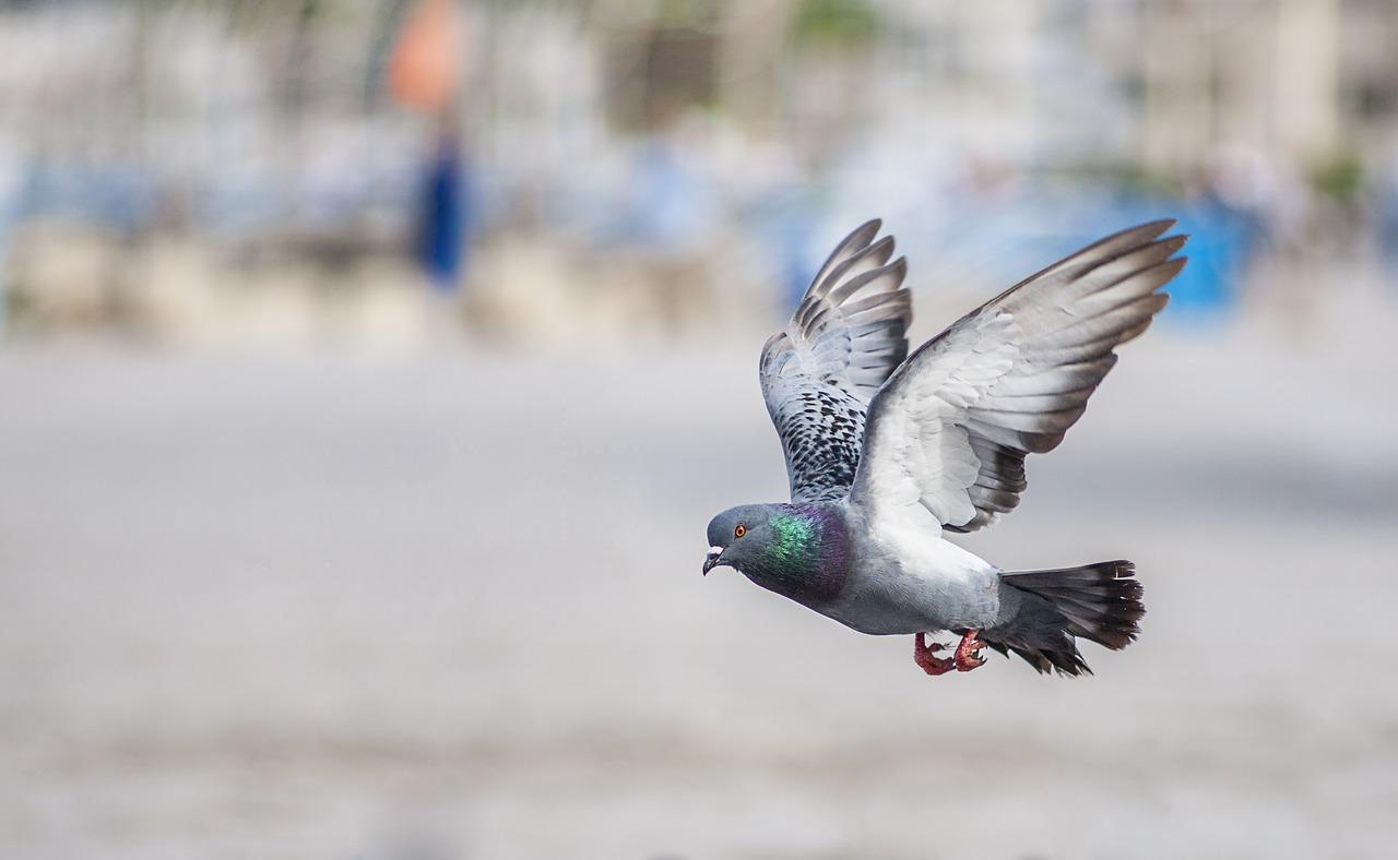 Una paloma voló a gran velocidad sobre una apacible zona residencial, causando gran revuelo en la Internet. Imagen ilustrativa. (Crédito: Pixabay/ oudba_msi)