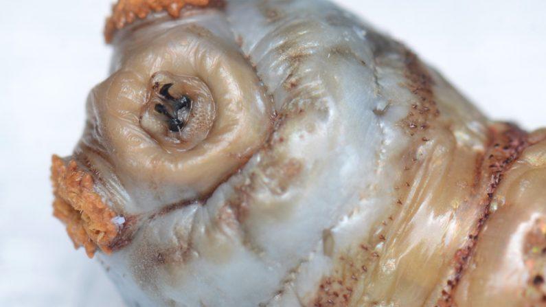 Larva de una mosca humana tórzalo o (Dermatobia hominis ). (Wikimedia)