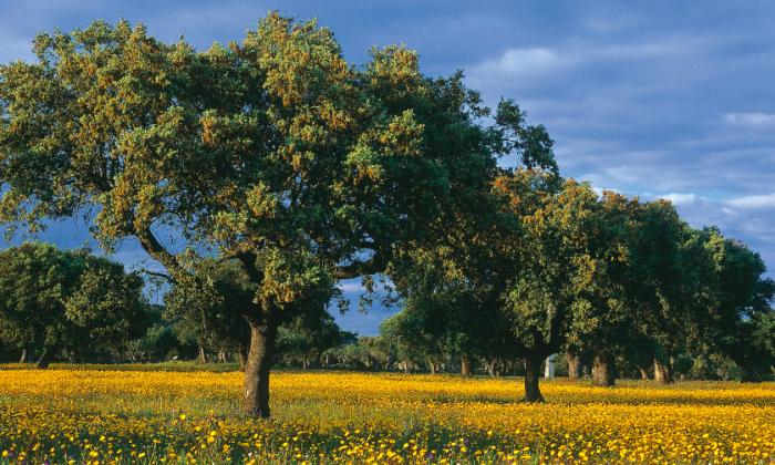 Imagen ilustrativa de árboles. (Turismo Alentejo)