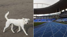 Perro callejero se suma a una carrera de 100 metros llanos y sale en tercer lugar