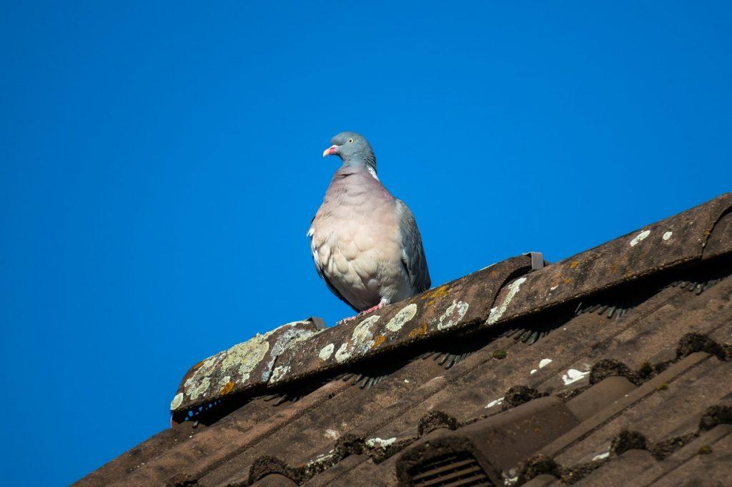 La paloma infractora podría regresar al sitio del delito, sugirió un vecino del lugar. (Crédito: Pixabay/Didgeman)