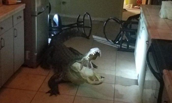 Un caimán ingresó a una casa de Florida por la ventana y armó un escándalo. (Clearwater Police)