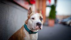 Pitbull embarazada no quiere a dar a luz, luego sus nuevos dueños ven 12 cachorros en una ecografía