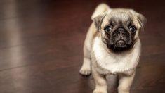 Familia encuentra un anuncio en Internet ofertando a su perro pug desaparecido