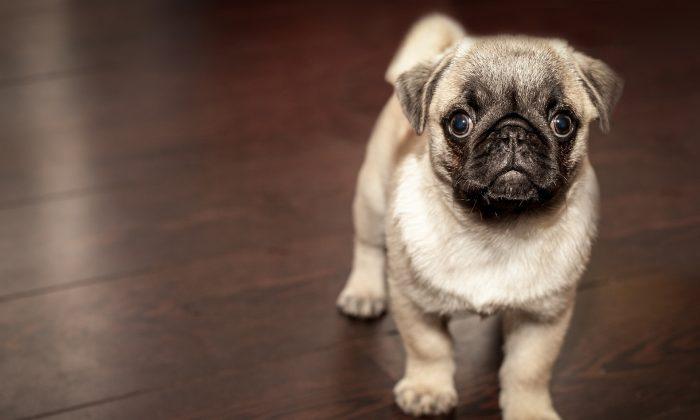 Foto ilustrativa de un perro pug. Los pugs de un año de edad pueden valer hasta 2237 dólares en Alemania. (Pixabay)