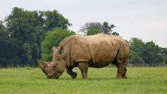Muere el último rinoceronte macho de Sumatra, la especie más perseguida por cazadores furtivos
