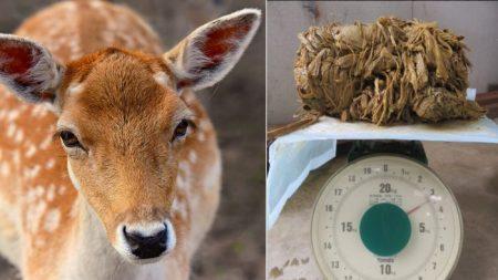Venado de 17 años muere por tener 4 kilos de plástico en el estómago